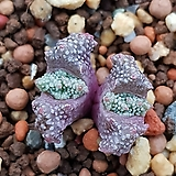 conophytum Khamiesbergense  Josephsekop 