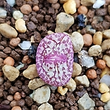 conophytum 트런카텀(위게티아) 