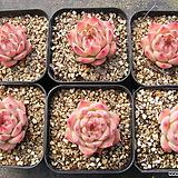 치와와린제모듬|Eeveria chihuahuaensis
