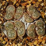 펠루시덤 Pellucidum|Echeveria Lucy