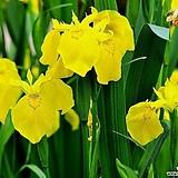 노랑꽃창포(씨앗)|