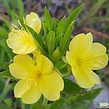 달맞이꽃(씨앗)|