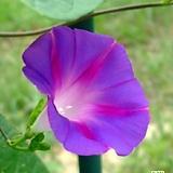나팔꽃(씨앗)|