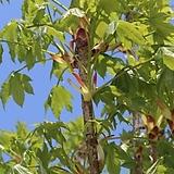 민엄나무 / 가시없는 엄나무 / 약용수 / 육류요리 잡내제거 /  근삽 2년 묘목|