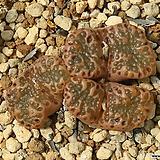 Pellucidum 펠루시덤|Echeveria Lucy