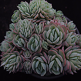 트윈베리8|Echeveria Twin Berry