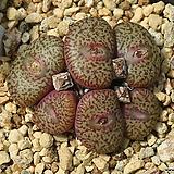 Obcordellum Ceresianum 세레시아넘|