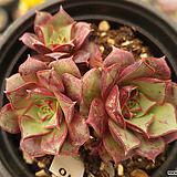 롱기시마벨바라(컷)01 Echeveria longissima
