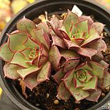 롱기시마벨바라(컷)02 Echeveria longissima