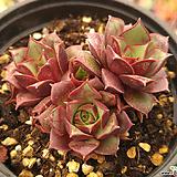 롱기시마벨바라(컷)03 Echeveria longissima