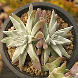 화이트그리니(3두.분지중)03 Dudleya White gnoma(White greenii / White sprite)