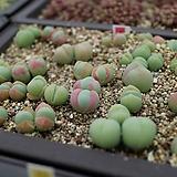 Gibbaeum heathii comptonii 씨앗(10립)|