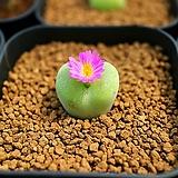 Conophytum subfenestratum 씨앗(10립)|