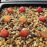 Conophytum burgeri 씨앗(10립)|