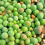 아르기로데르마 씨앗(10립)|