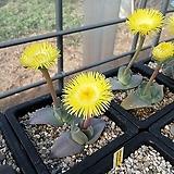 cheiridopsis peculiaris 씨앗(10립)|