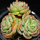 골든글로우46|Echeveria cv. Golden Glow