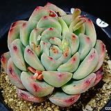 황홀한연꽃hy72|Echeveria pulidonis