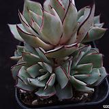스트릭트플로라1|Echeveria strictiflora v nova