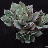 스트릭트플로라2|Echeveria strictiflora v nova
