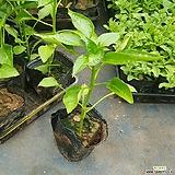 파프리카모종(노랑)|