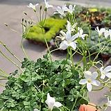 분재사랑초(흰색)|