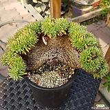깨알샤치철화 Echeveria agavoides f.cristata Echeveria