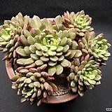 핑크루비-4401|Sedeveria pink rubby
