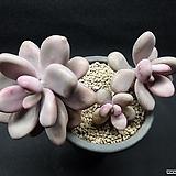아메치스-4401|Graptopetalum amethystinum
