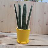 수투키 (화분포함) 레드 노랑 흰색 공기정화식물 