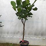 떡갈고무나무 (동일품 발송)|Ficus elastica