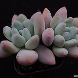 후레뉴(목대)8|Pachyphtum cv Frevel