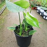 몬스테라(2촉으로 짱짱하게 길러진 아이~)-중품/공기정화식물|