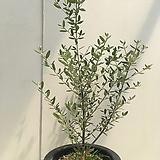 올리브나무|