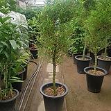 [대품]대나무(마다기 짧고 휘어진 수형이 멋진 대나무 입니다!~)|