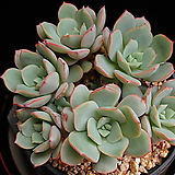 Echeveria subcorymbosa (lau 026)
