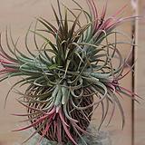 틸란드시아(공기정화식물) Tillandsia