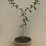 올리브나무(완성품)|