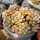 묵둥이 홍포도121|Graptoveria Ametum