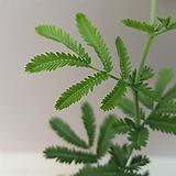 [신품종]은엽아카시아(기존 아카시아 보다 잎이 촘촘하고 파스텔톤이 강한 잎을 자랑하는~)|