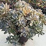 석연화 왕왕대품