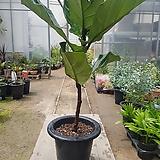 [재입고]떡갈고무나무(잎이 굉장히 큰~)|Ficus elastica