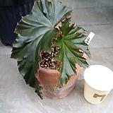 이렌누스(베고니아)화분포함 Begonia