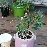 드레게이글래스코(베고니아)화분포함 Begonia
