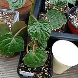 포도베고니아 Begonia
