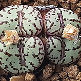 Conophytum obcordellum ssp(오브코델륨)|