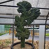용신목철화특대 수형최상급 0698|Myrtillocactus geometrizans Cons