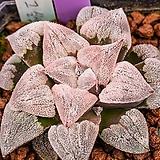 피그마에아 특백환(pygmaea 特白丸)-05-05-No.2497|Haworthia pygmaea