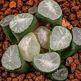오로라 실생-백운 녹문(Aurora Seeding-白雲 綠紋)-05-05-No.2236|Sedum rubrotinctum cv.Aurora