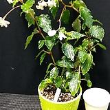 차바엔시스(베고니아) Begonia